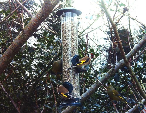 bird cam goldfinches and greenfinches