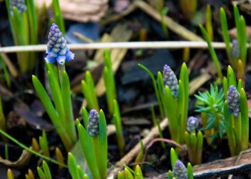 grape-hyacinth-early-nectar