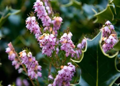 heather-early-nectar