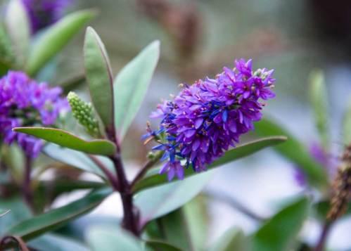 hebe-early-nectar