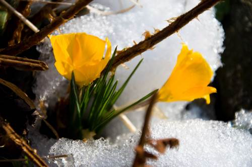 ice crocus