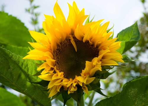sunflower-bee-food
