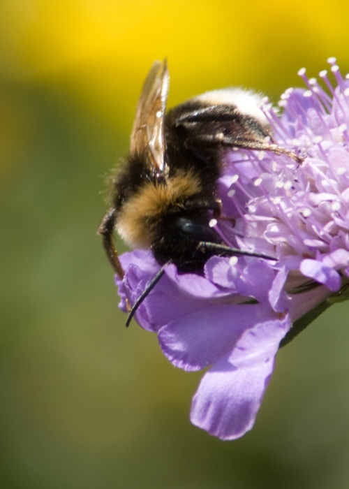 White tailed bumble bee