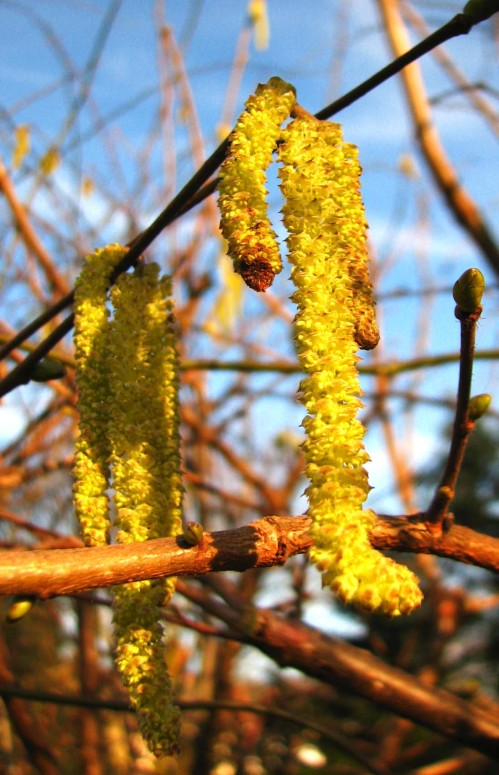 catkins spring on the wing