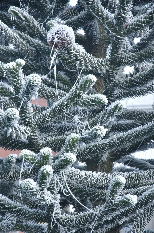 Monkey Puzzle Tree with Iced Spiders Web