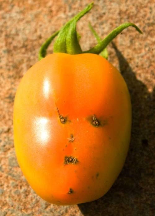 tomatocharacter