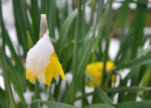 Subdued Daffodils
