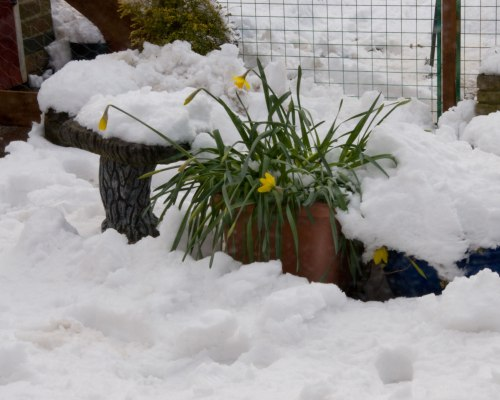 Iced Daffodils