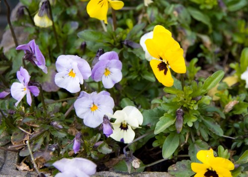 Spring Violas. They made it through the snow.