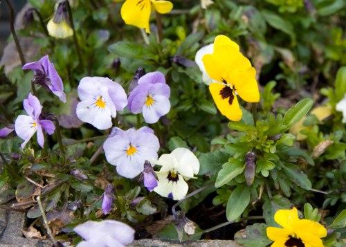 Spring Violas. They made it through the snow.