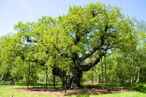 The Great Oak in Nottingham Forest