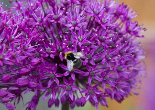 Allium Purple Sensation attended by grateful bee.