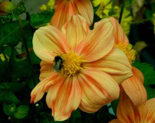 Dahlias Feed Bees