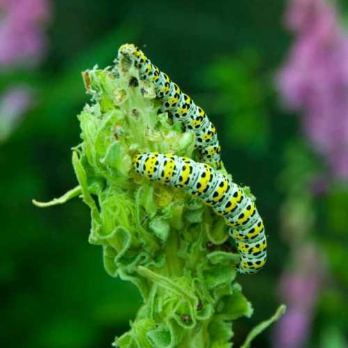 Mullein Moth Caterpillars