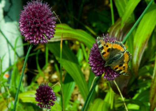 Small Tortoiseshell Butterfly feeding on Allium Drumstick