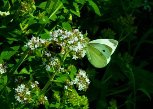 Small White Butterfly Feeding On Marjoram