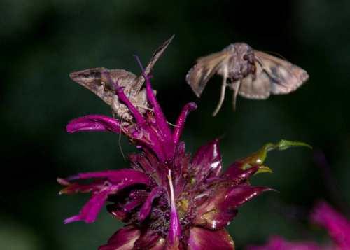 Moth On Bergamot. Taken with flash