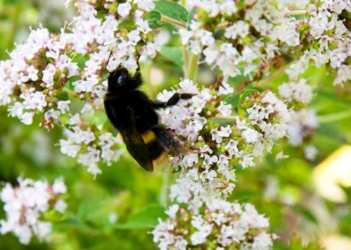 Bee On Marjoram - One Of Hundreds Today