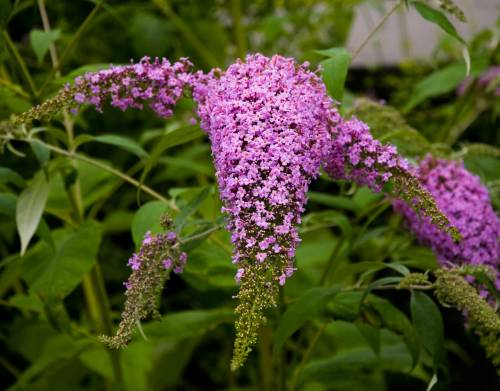 Buddleia for the butterflies