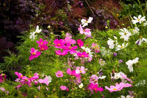 Cosmos for the Butterflies