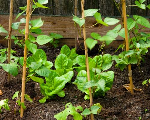 Lettuce catch cropped beneath the runner beans