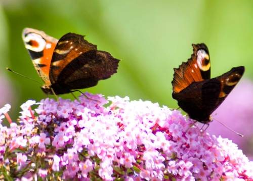 Peacock Butterflies dance