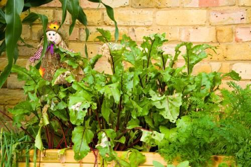 Container Garden Beetroot