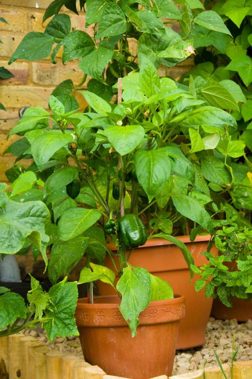 Container Garden Peppers