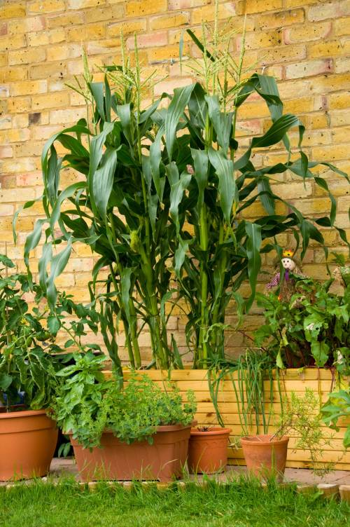Container Garden Sweetcorn