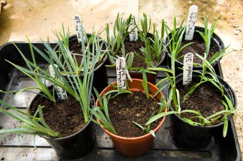 Cuttings Of Lavender And Pinks