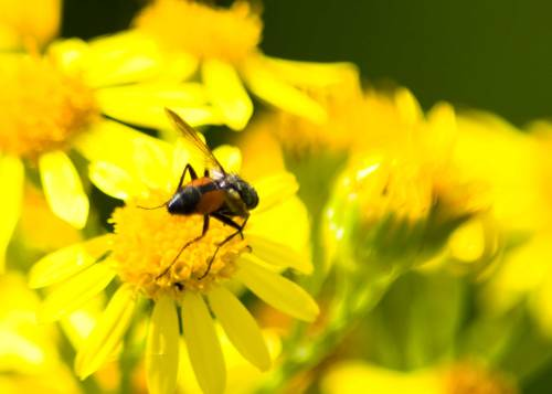 Unidentified Fly Visitor On Ragwort Flower. Can you help with an ID?