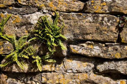 Ferns growing in an old wall
