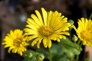 Doronicum. Bee magnet from the start!
