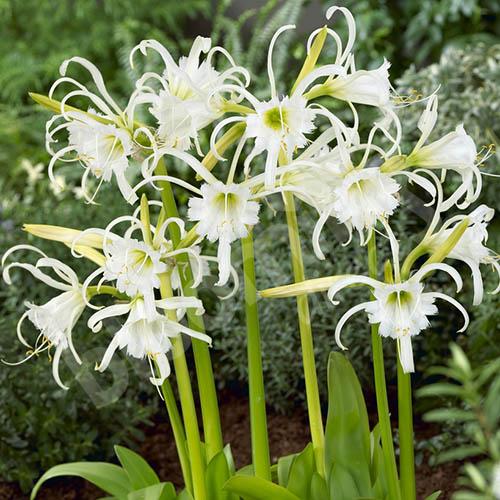 Ismene (white spider lily)