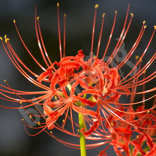 Lycoris Ratiata