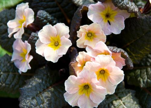 Primula. I love the contrast between leaf and flower!