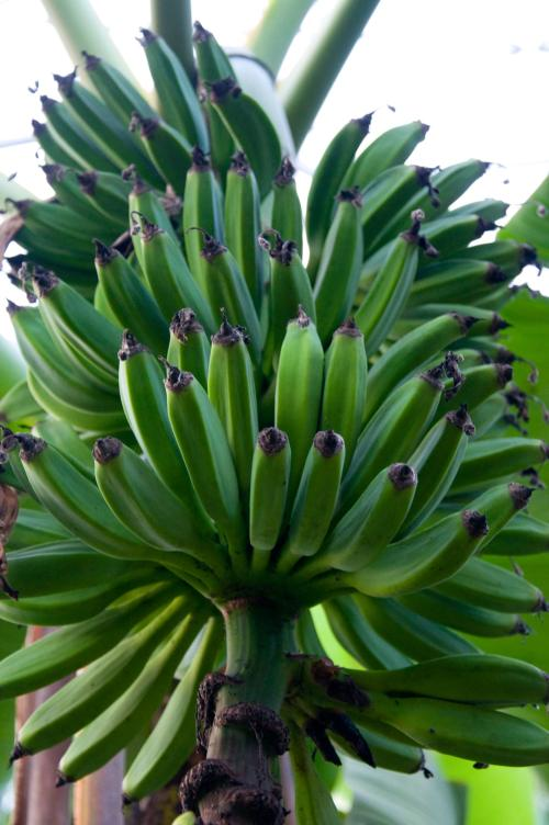 bananas-growing-in-the-tropical-biome,-Eden-Project,-Cornwall