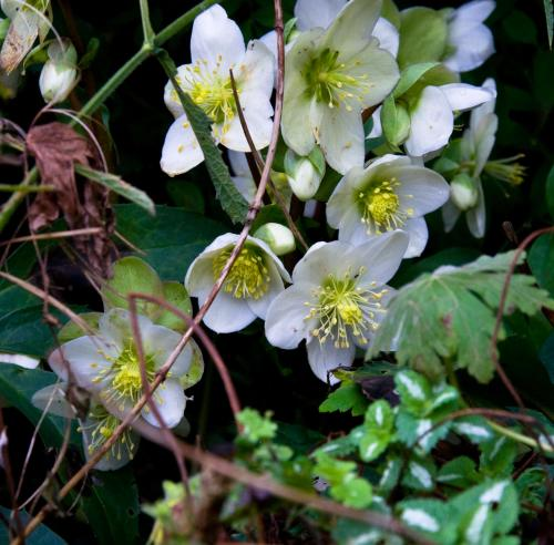 White Hellebore in Flower 2nd January