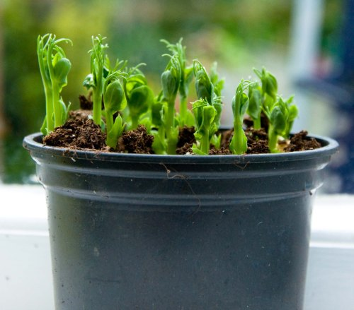 sprouted seeds0001_3